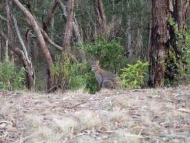 """Dangerous"" kangaroo next to the road"