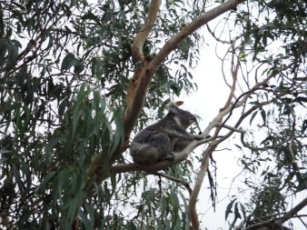 Koala spotting thanks to wikicamps