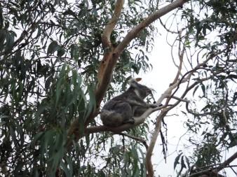 Koala spotting thanks to wikicamps
