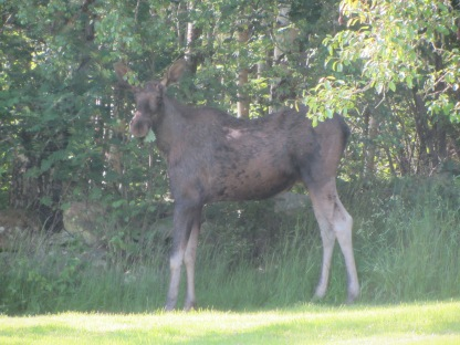 Moose nr. 1