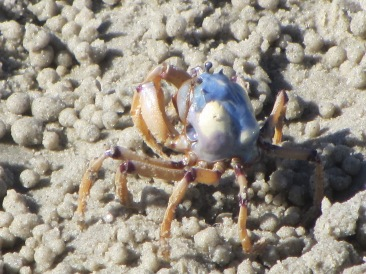 Light-Blue Soldier Crab